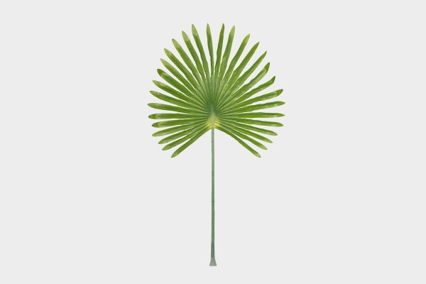 Giant Fan Palm Stem